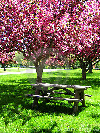 Picnic Table under Pink Flowering Trees