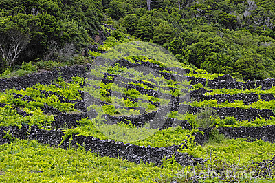 Pico - vineyards and little basalt walls, Azores