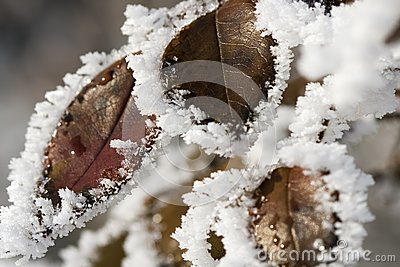 Pictorial of Frozen Hip-berry Leaves