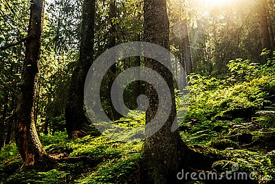 The rays of the sun in the crowns of trees Stock Photo