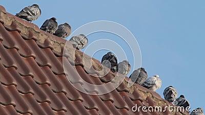 Pidgeons w zimie zdjęcie wideo