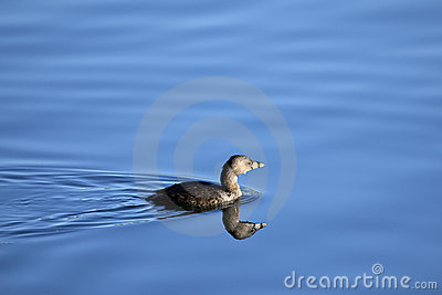 Pied-billed Grebe bird