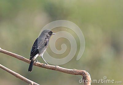 Asian Bird Pied Bush Chat on a bush
