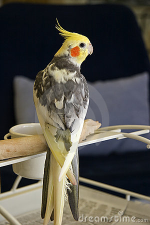 Free Pied Cockatiel Royalty Free Stock Images - 1973429