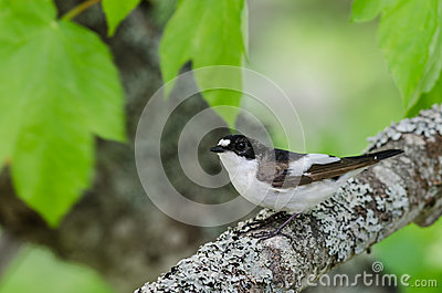 Pied Flycatcher (Ficedula hypoleuca) bird