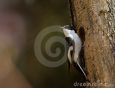 Pied Flycatcher at a hollow