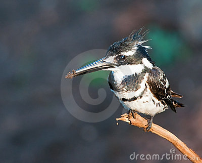 Pied Kinfisher on branch