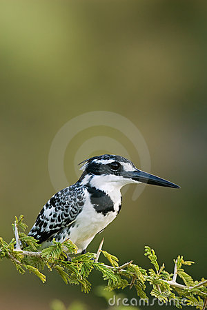 Free Pied Kingfisher Royalty Free Stock Photo - 2520335