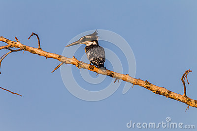 Pied Kingfisher Bird Branch