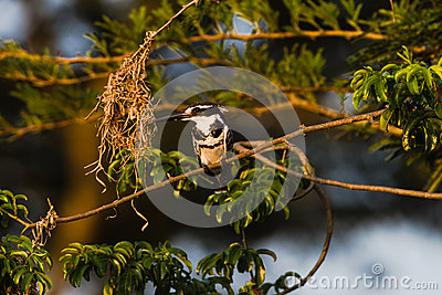 Pied Kingfisher Bird Sitting