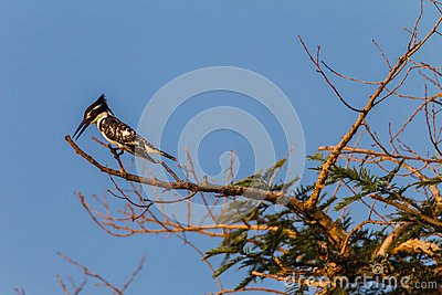 Pied Kingfisher Bird Tree