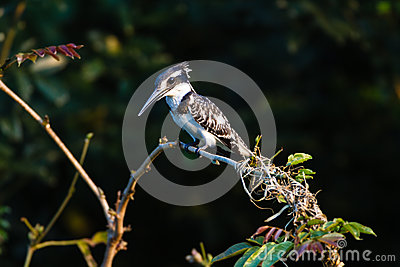 Pied Kingfisher Bird Tree