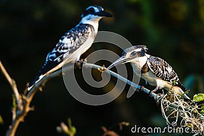 Pied Kingfisher Birds