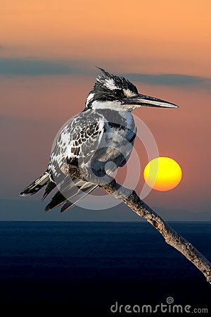 Free Pied Kingfisher In Kenya, Africa Stock Photography - 125208222