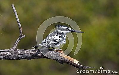 Pied Kingfisher - Okavango Delta - Botswana