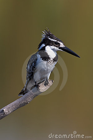 Free Pied Kingfisher On Pirtch Royalty Free Stock Images - 6744799