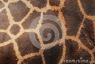 Piel del cuero genuino de la jirafa