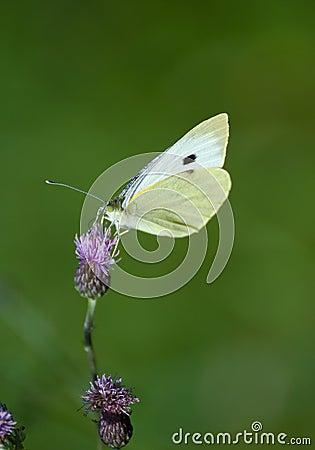 Free Pieris Brassicae Stock Image - 26632211