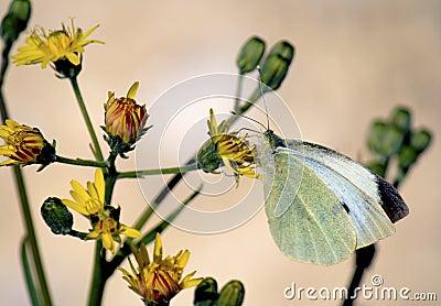 Pieris rapae butterfly