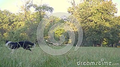 Pies łapie piłkę w powietrzu który dziewczyna treser, plenerowy ćwiczenie Zwolnione tempo strzelanina zdjęcie wideo