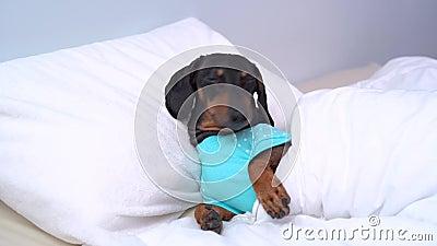 Pies dachshund szczeniak w niebieskiej piżamie śpiący Pies próbuje zasnąć, oczy są zamknięte Właściciel budzi psa, przykleja się  zbiory wideo