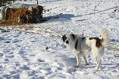 Pies i krowa