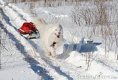 Pies jest pulk samoed transportu