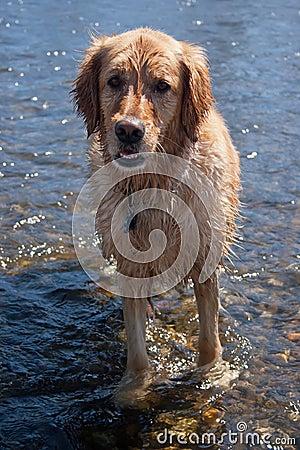 Pies mokry
