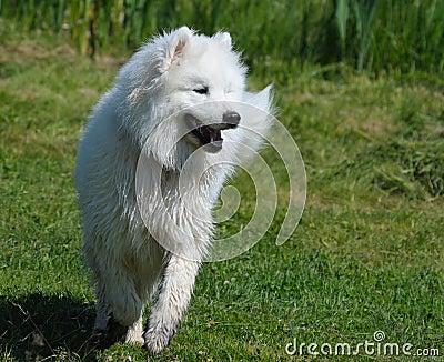 Pies samoyed