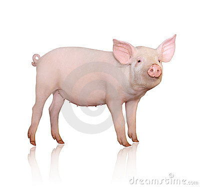 Free Pig Royalty Free Stock Images - 15003209