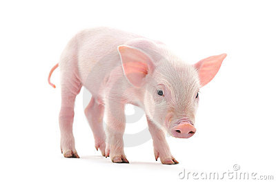 Pig Royalty Free Stock Image - Image: 17895486