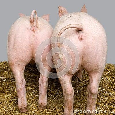 Free Pig Stock Photo - 2333670