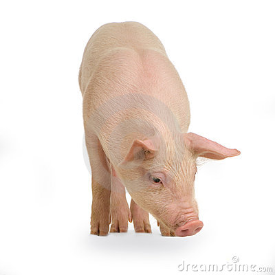 Free Pig Royalty Free Stock Images - 2333809