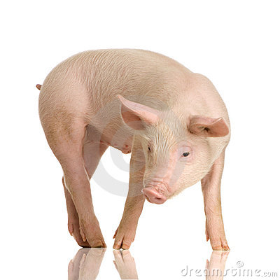 Free Pig Royalty Free Stock Images - 2333889