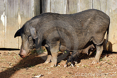 Pig and baby