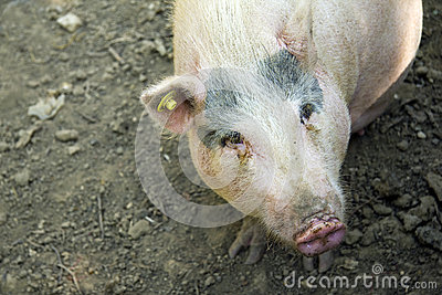 Pig and background