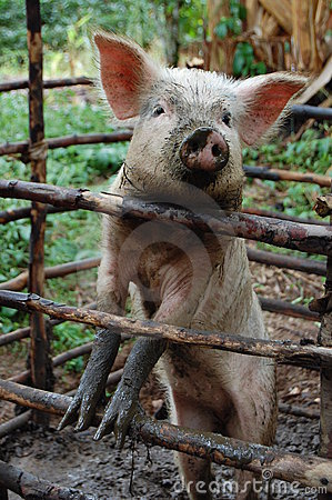 Free Pig Behind Wooden Bars Stock Image - 20290561