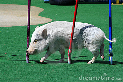 Pig competition