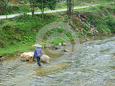 Pig crossing the river Editorial Stock Image