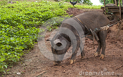 Pig eating mud