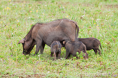 Pig family on the field