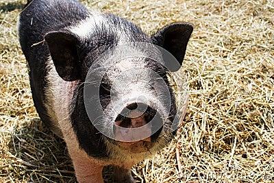 A pig at farm