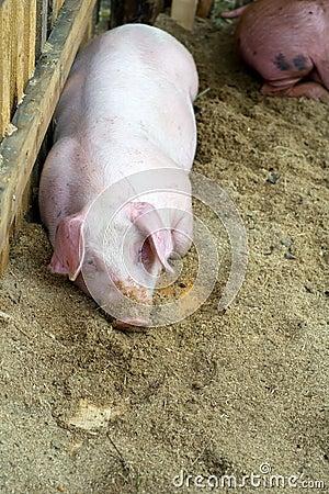 Pig in frame