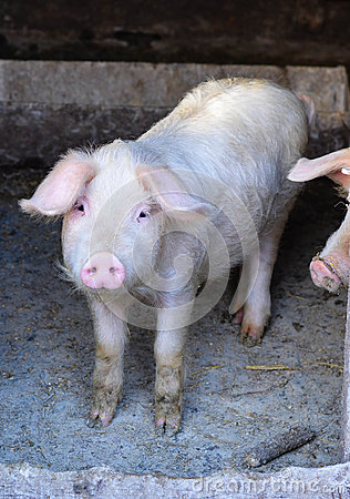 Free Pig In A Farm Stock Image - 48625321