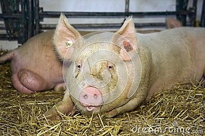 Pig at livestock exhibition