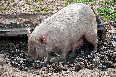 Pig in muddy pen