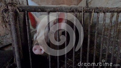 Pig on an old farm behind bars in an old dirty pen stock footage