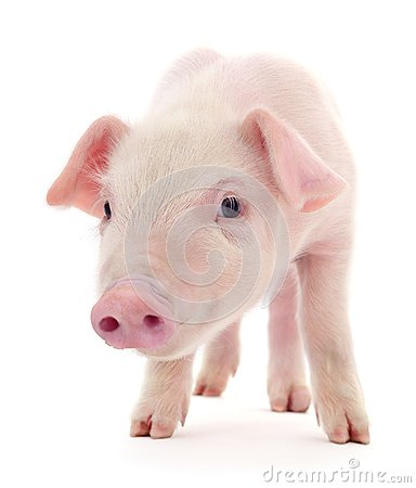 Free Pig On White Stock Photography - 119719832