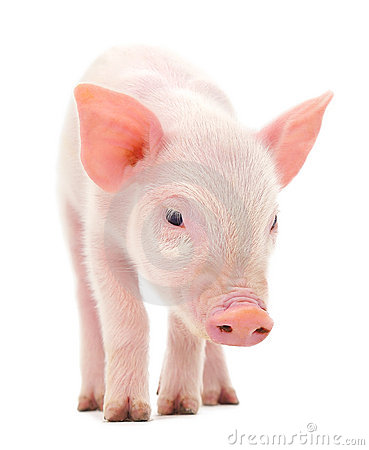 Free Pig On White Stock Image - 18681901
