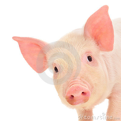Free Pig On White Royalty Free Stock Photography - 19943247